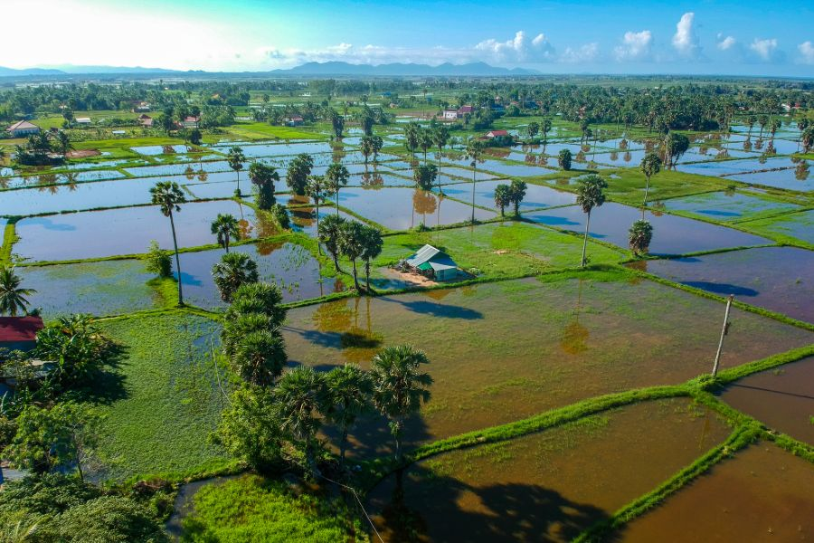 Cambodja Kampot Rijstveld