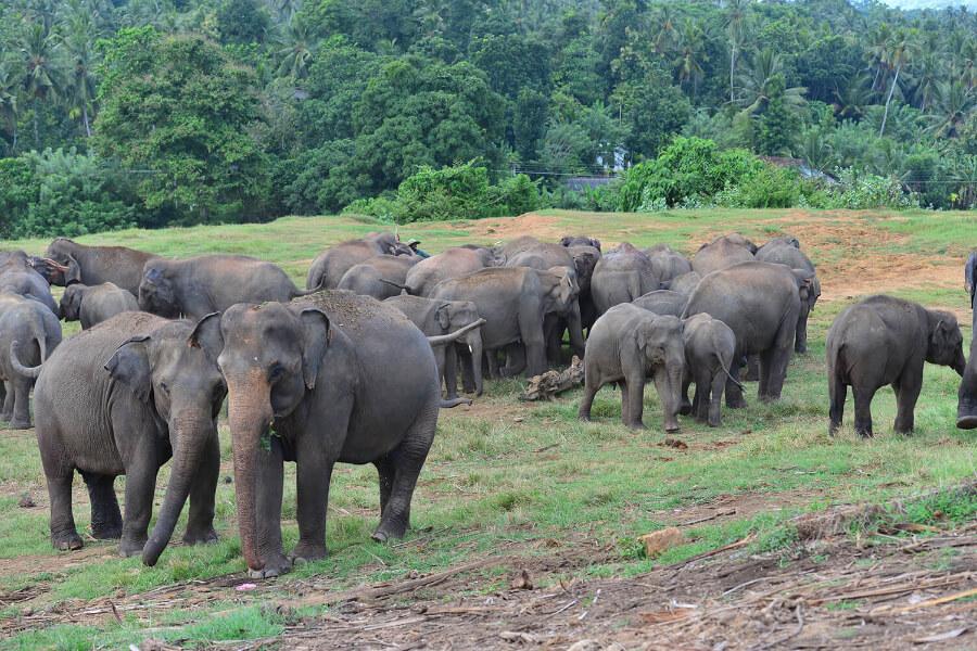 Sri Lanka Pinnawela Olifant 01