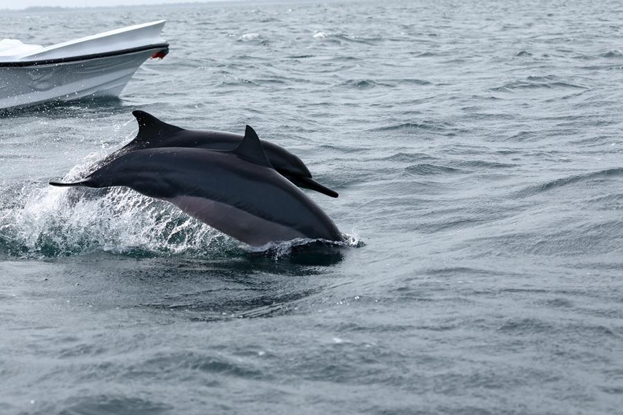 Sri Lanka Trincomalee Dolfijnen 2