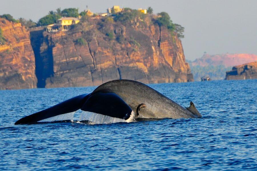 Sri Lanka Trincomalee blauwe vinvis 02