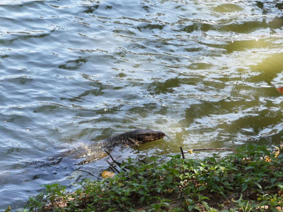 Thailand Bangkok Lumpini water monitor lizard
