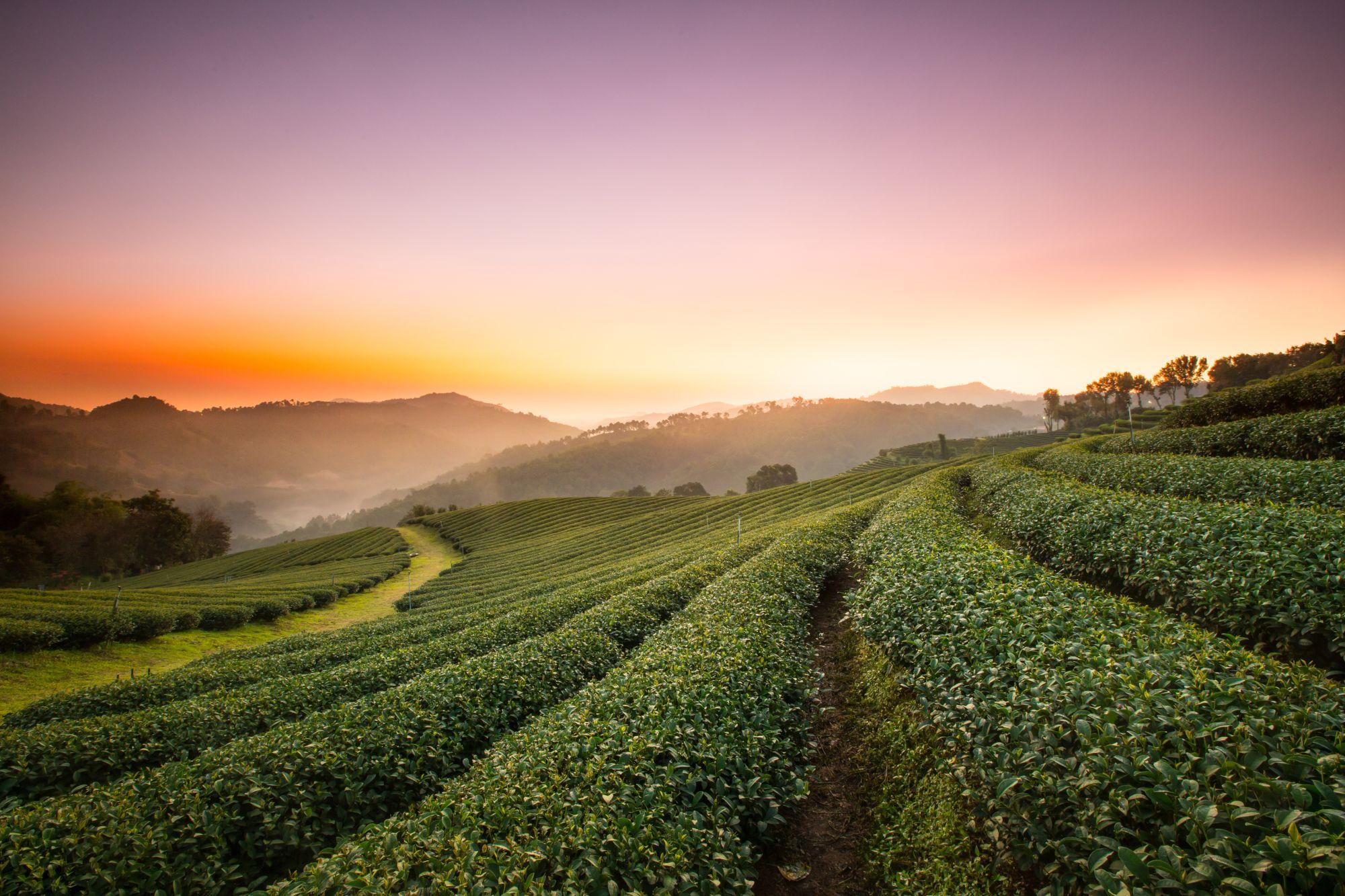 Thailand Chiang Rai theeplantages met mooi weer