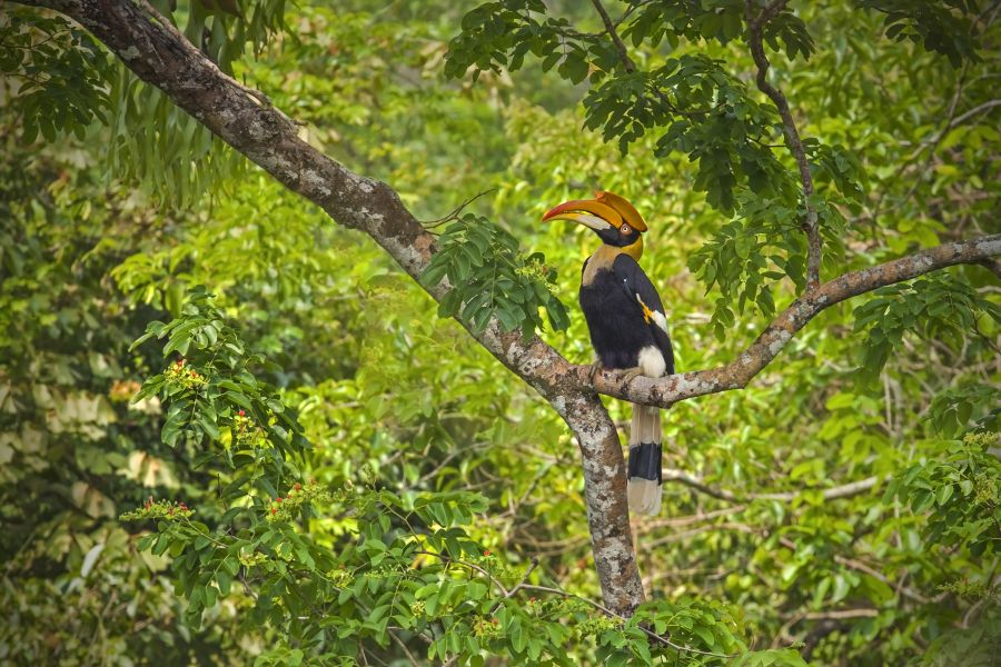 Thailand Khao Sok National Park hornbill vogel