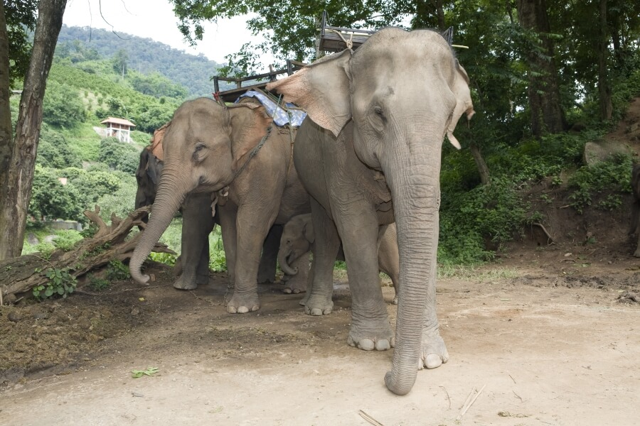 Thailand Olifanten met zitje
