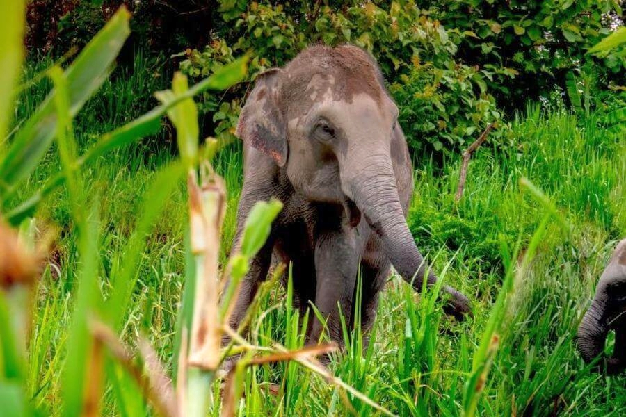 Thailand Phuket Elephant Jungle Sanctuary olifanten 3