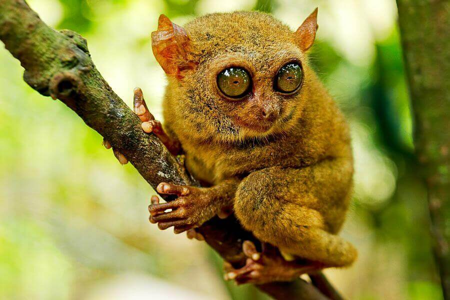 fi Indonesie Manado Tarsius Spookdiertje Onderwater Paradijs Spookdiertjes en de Minahasa in Noord Sulawesi 1