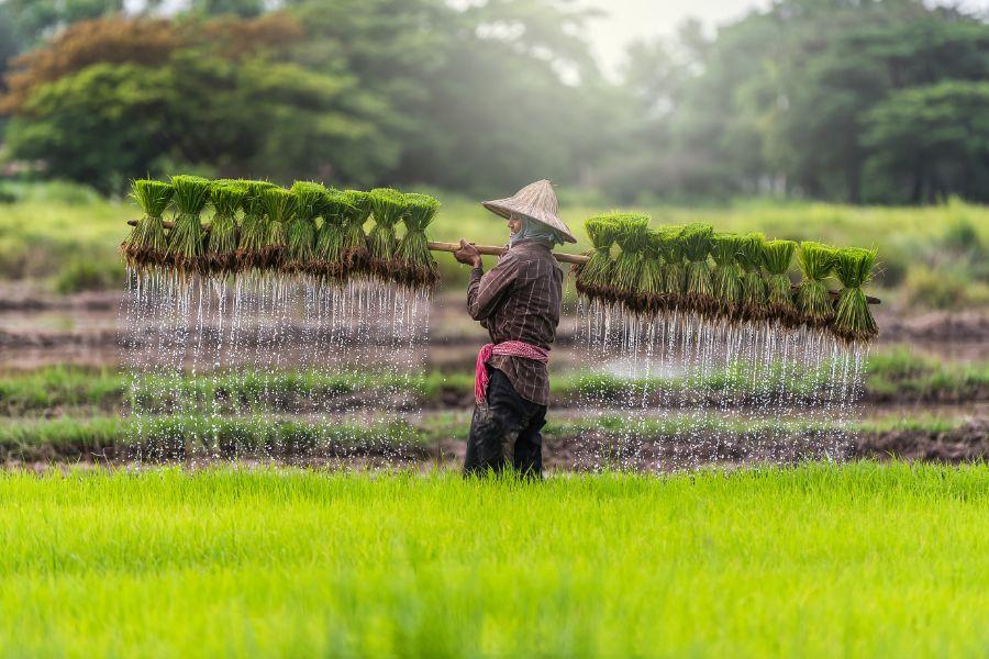 Cambodja Rijst verbouwen