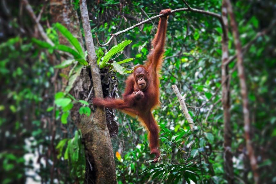 Indonesie Borneo orang oetan