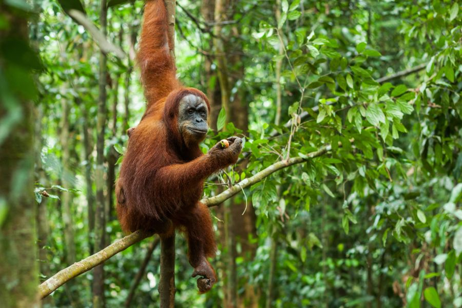 Indonesie Sumatra wildlife Orangutan nature jungle