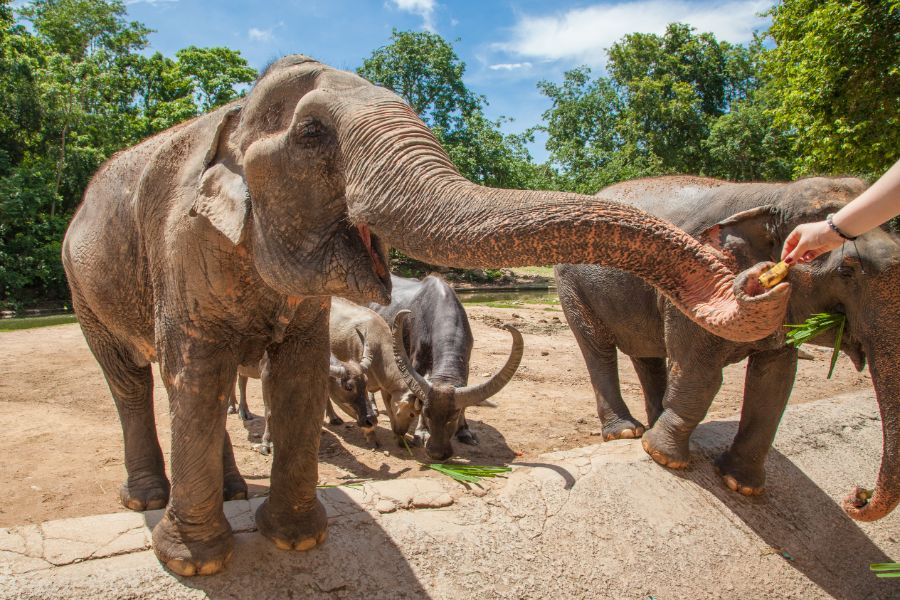 Thailand Chiang Mai Olifant voeden