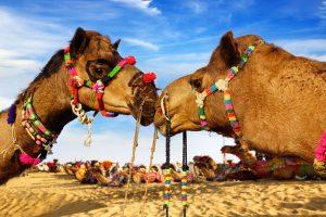 Kamelen safari in de Thar woestijn