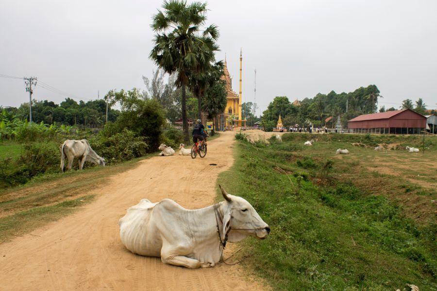 Cambodja Phnom Penh Mekong islands fietstour landschap lokaal leven platteland koe