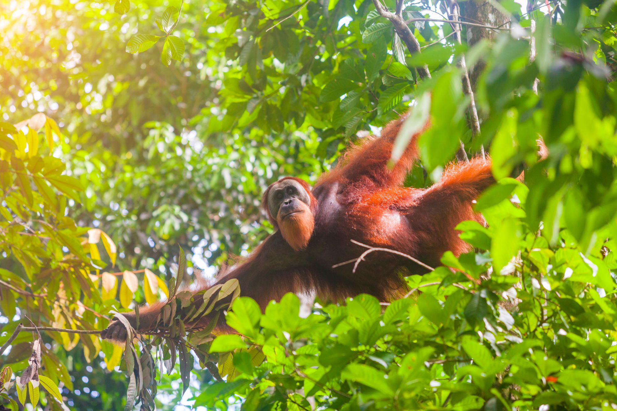 Indonesie Sumatran orang oetan in Gunung Leuser National Park