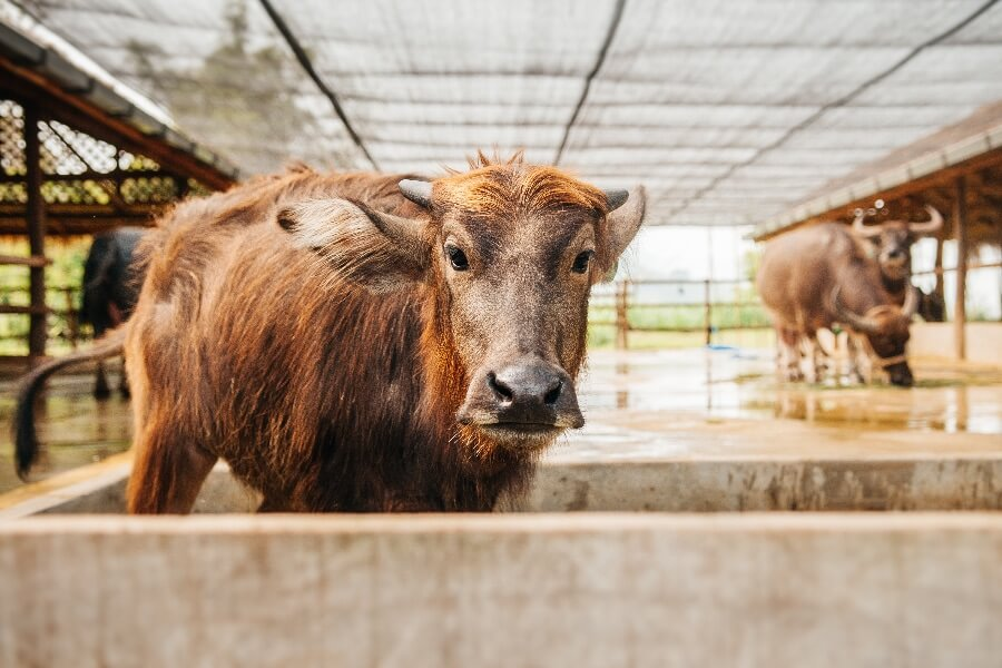 Laos Luang Prabang Buffel boederij buffalo farm