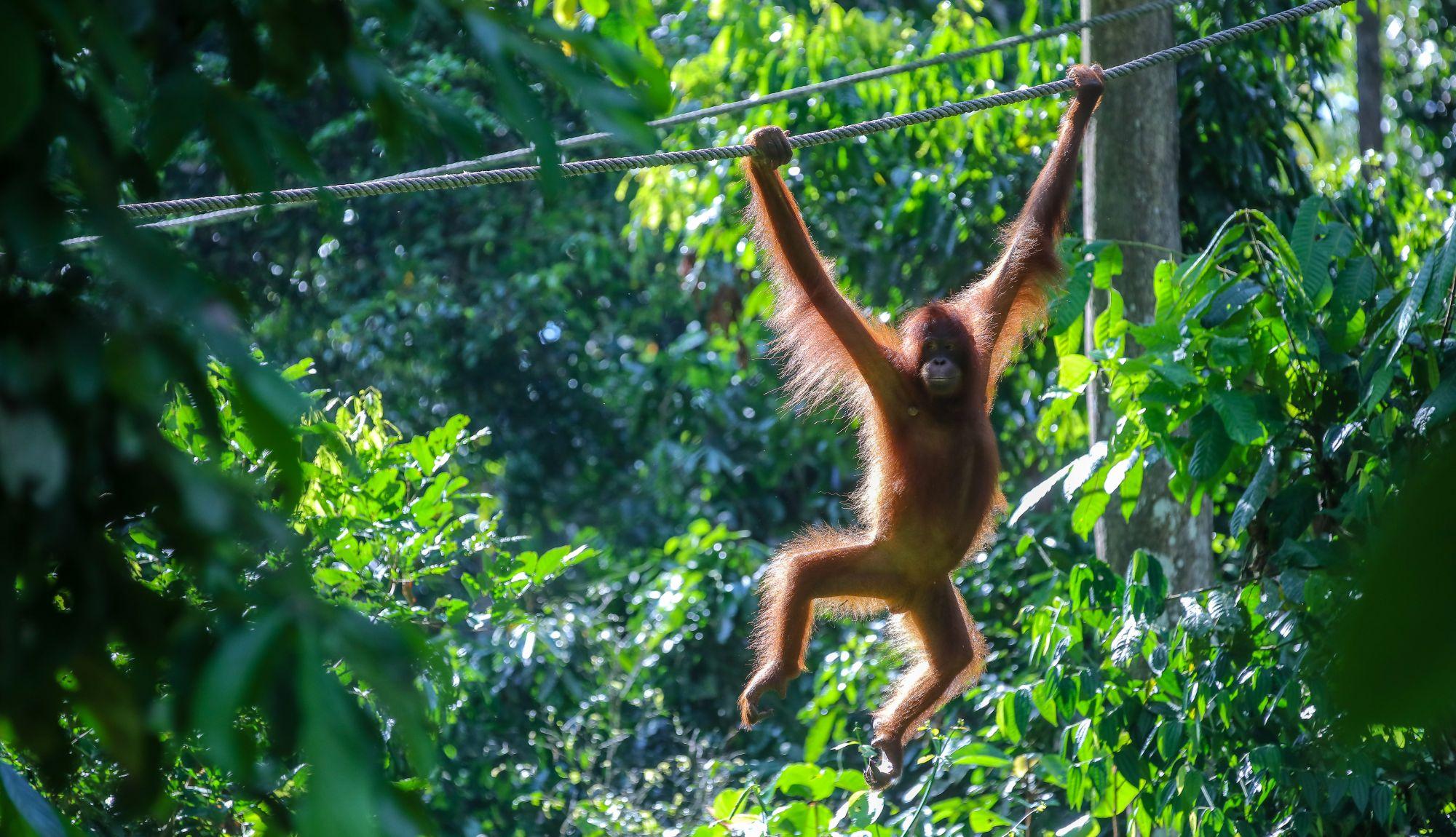Maleisie Borneo regenwoud jungle natuur mensaap orang oetan