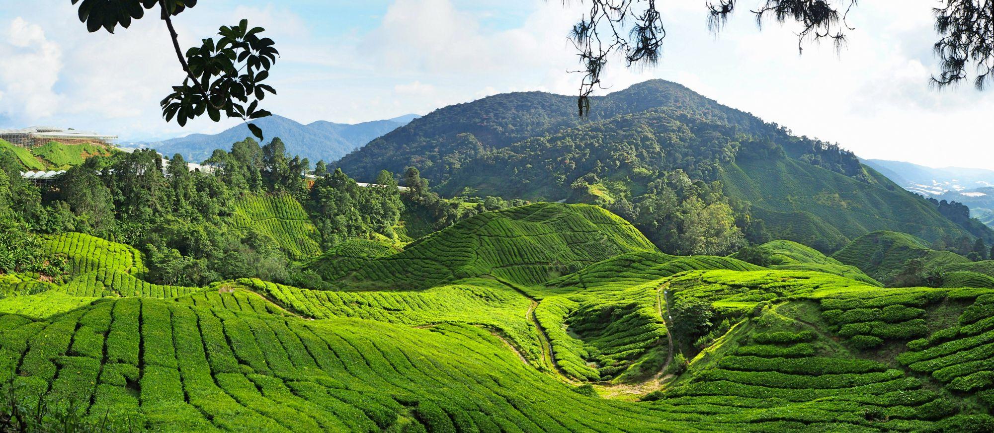 Maleisie Cameron Highlands heuvelachtige thee plantages