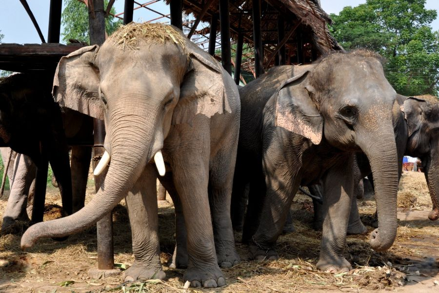 Thailand Ayutthaya Elephant Royal Palace Kraal Phaniat olifanten