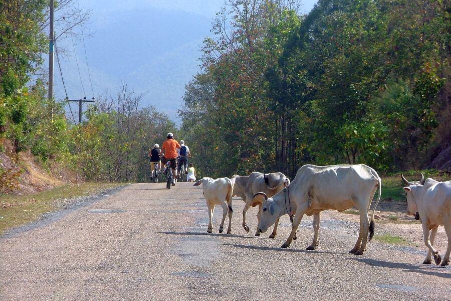Thailand Chiang Mai Fietstour Fietsen koeien