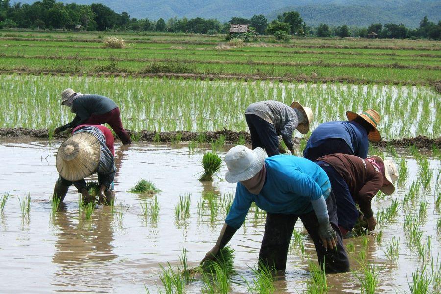 Thailand Rijstvelden natuur omgeving