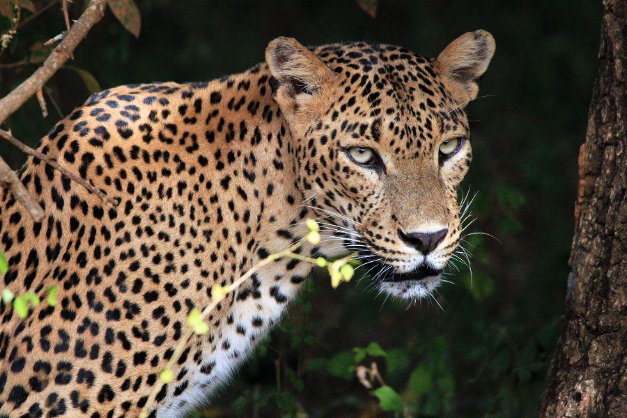 Yala National Park 1