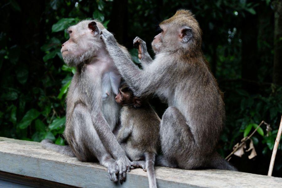 Indonesie Bali Alas Kedaton apen
