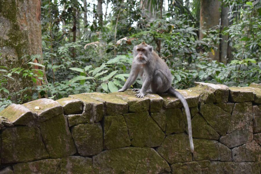 Indonesie Bali apen in Sangeh Monkey Forest