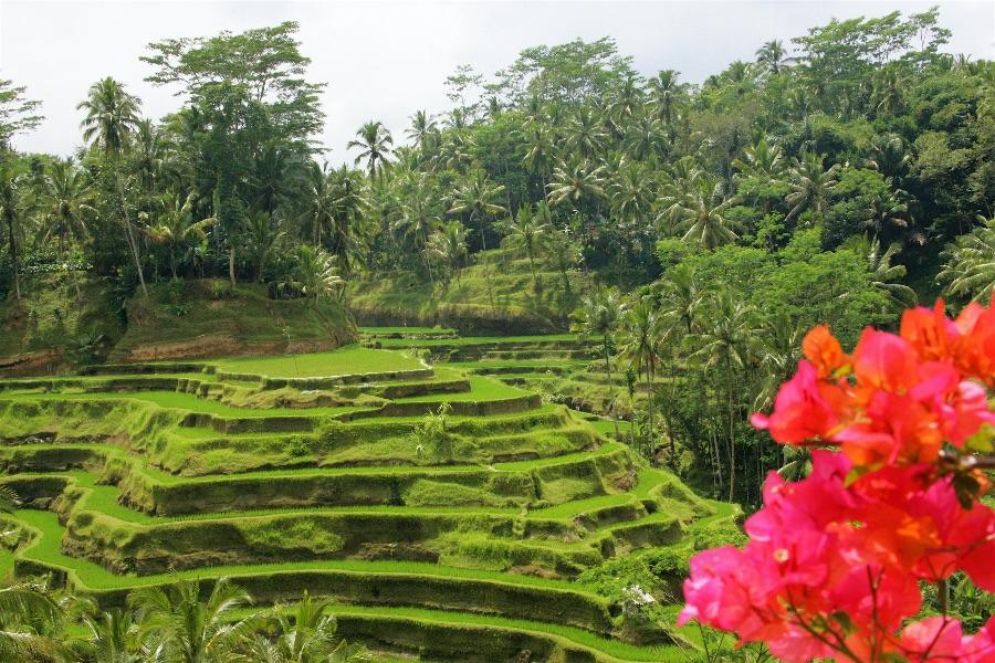 Indonesie Bali rijstterassen in Ubud