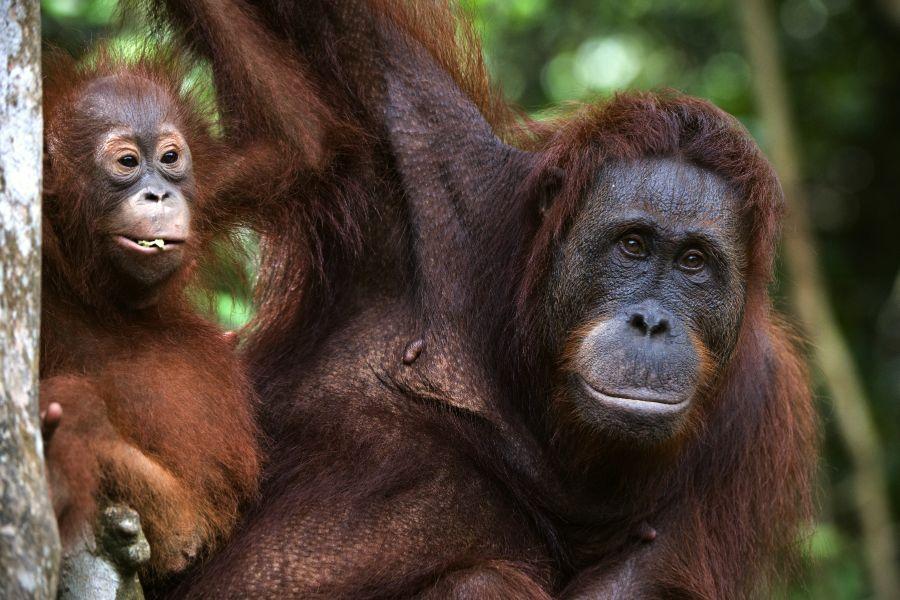 Indonesie Borneo Orang oetangs