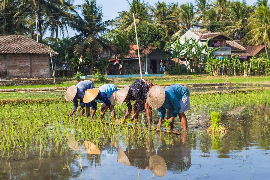 Indonesie Java Jogjakarta Mensen werken in rijstvelden
