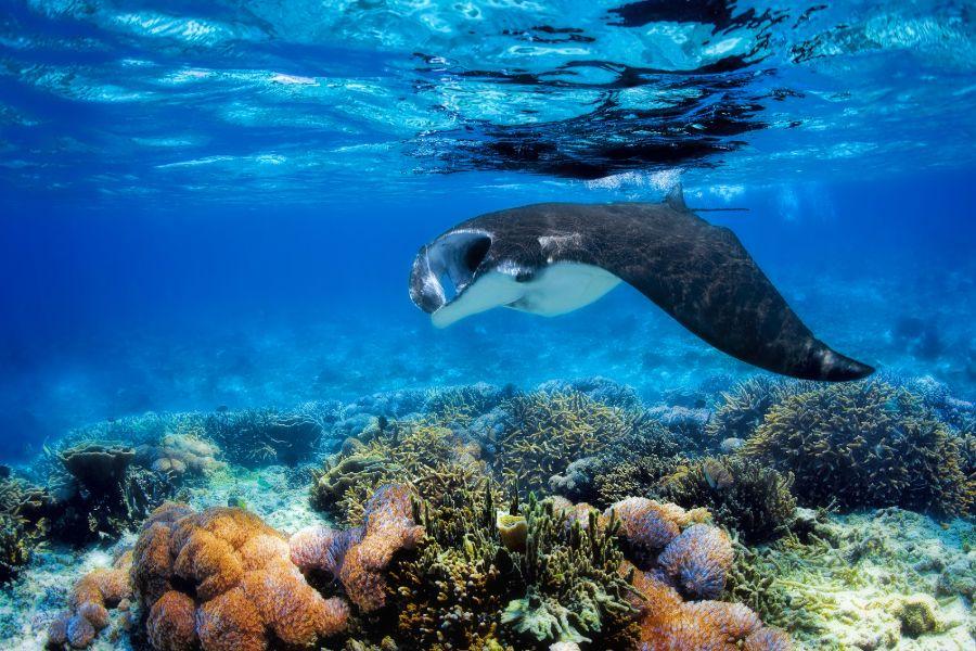 Indonesie Komodo eiland onderwaterwereld zee Manta ray koraalrif