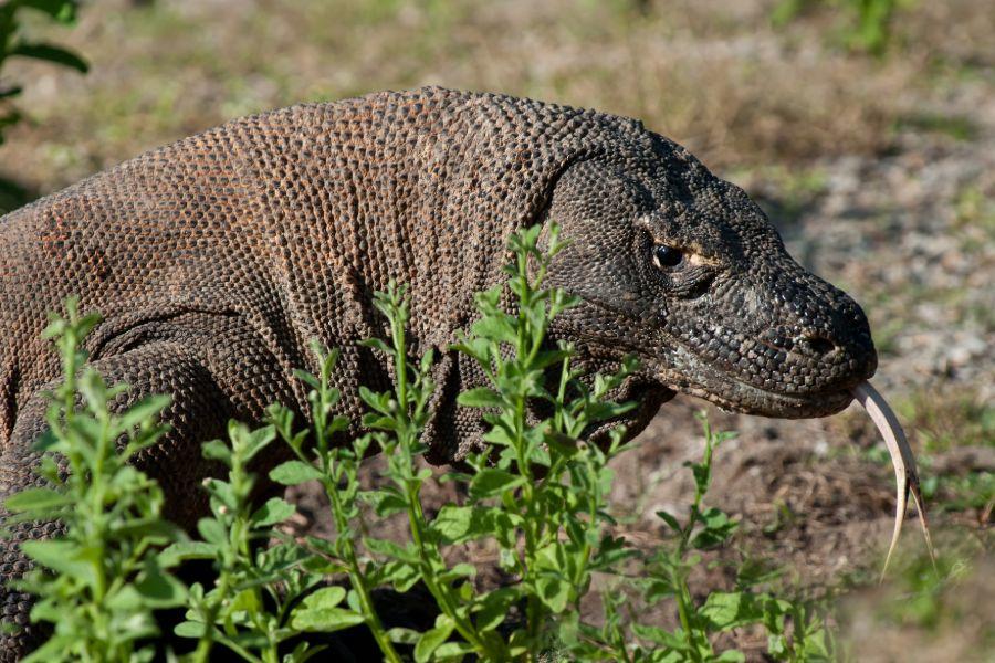 Dag 17: Labuan Bajo – Rinca – Komodo