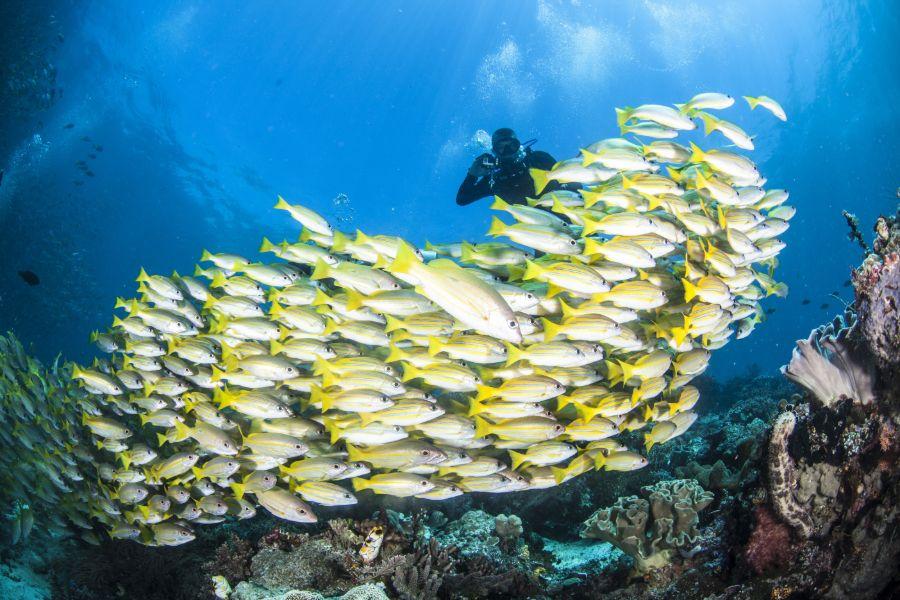 Indonesie Raja Ampat yellow snappers vissen onderwaterwereld duiken
