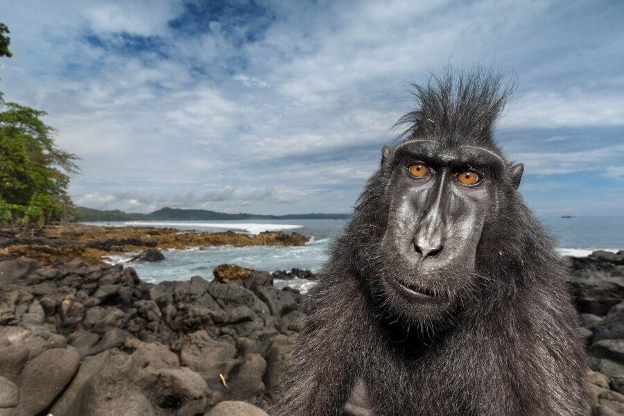 Indonesie Sulawesi zwarte makaak aap