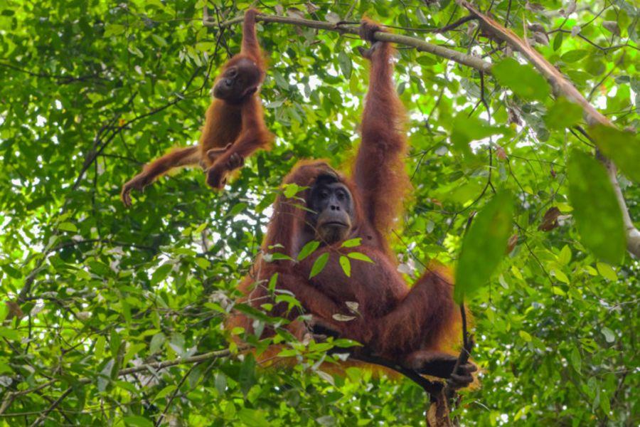 Indonesie Sumatra Gunung Leuser National Park Burkit Lawang birds vogel orang oetans