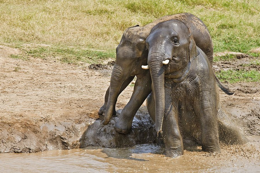 Indonesie Sumatra Gunung Leuser National Park olifanten