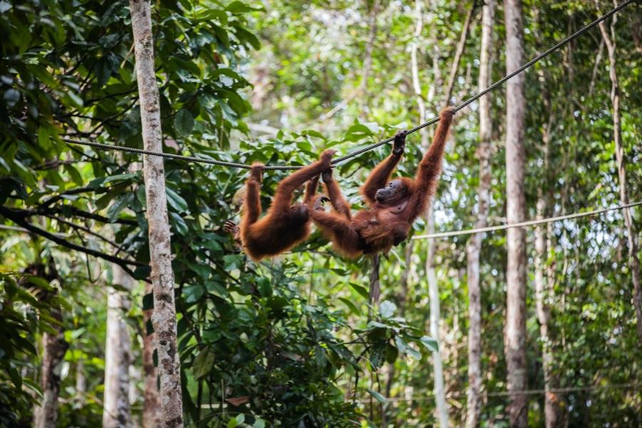Indonesie Sumatra Leuser Nationaal Park Apen