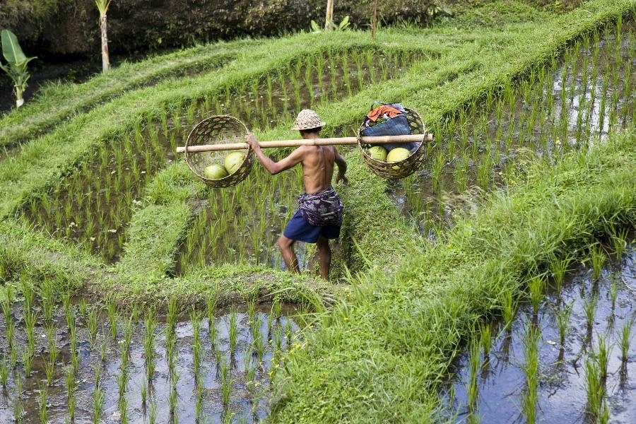 Indonesie ubud man in rijstvelden