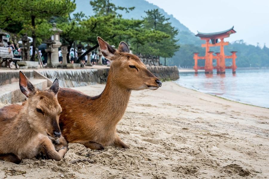 Japan Hiroshima Miyajima Torii gate met eland