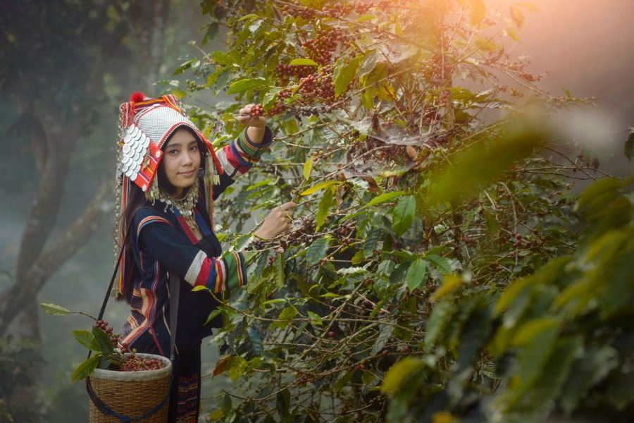 Laos Akha woman koffieplantage koffiebonen bergstam locale bevolking bergstam