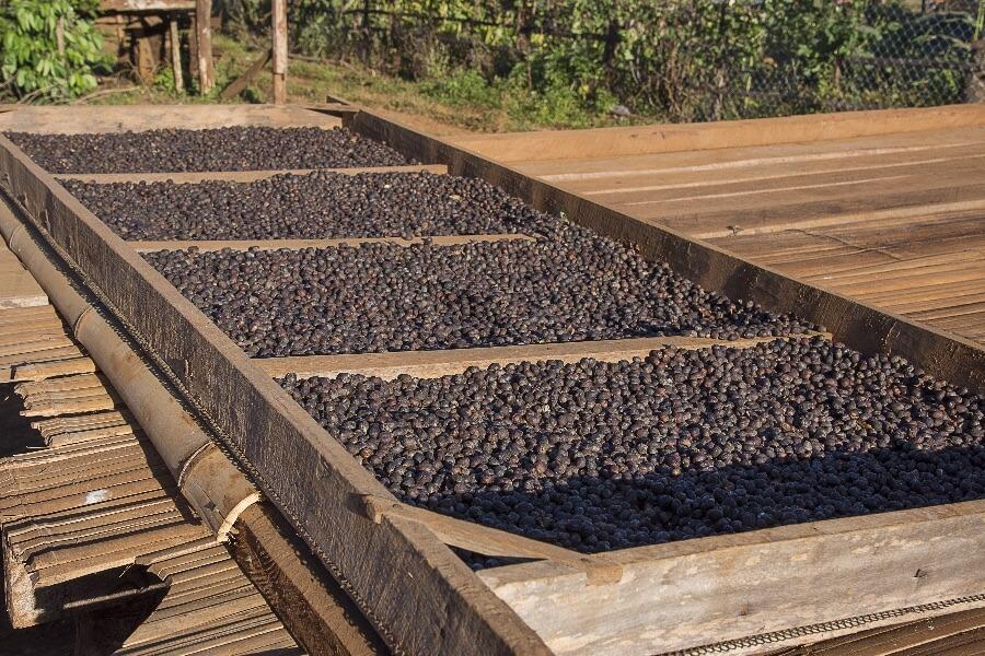 Laos Pakse Bolaven Plateau koffieplantage koffiebonen
