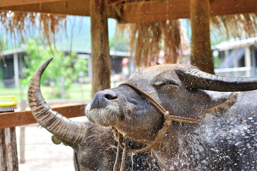 Laos buffel