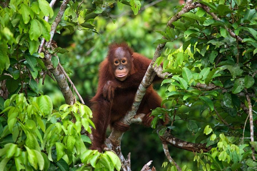 Maleisie Borneo dieren Orang oetan 1