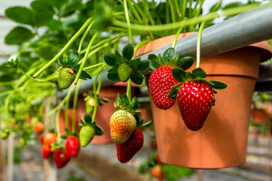 Maleisie Cameron Highlands Aardbeien
