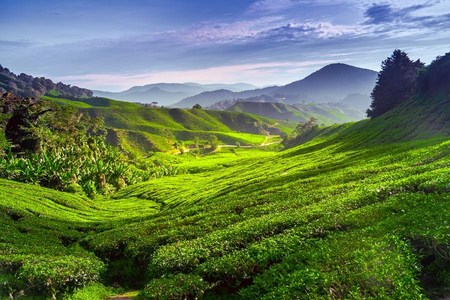 Maleisie Cameron Highlands Theeplantages 1