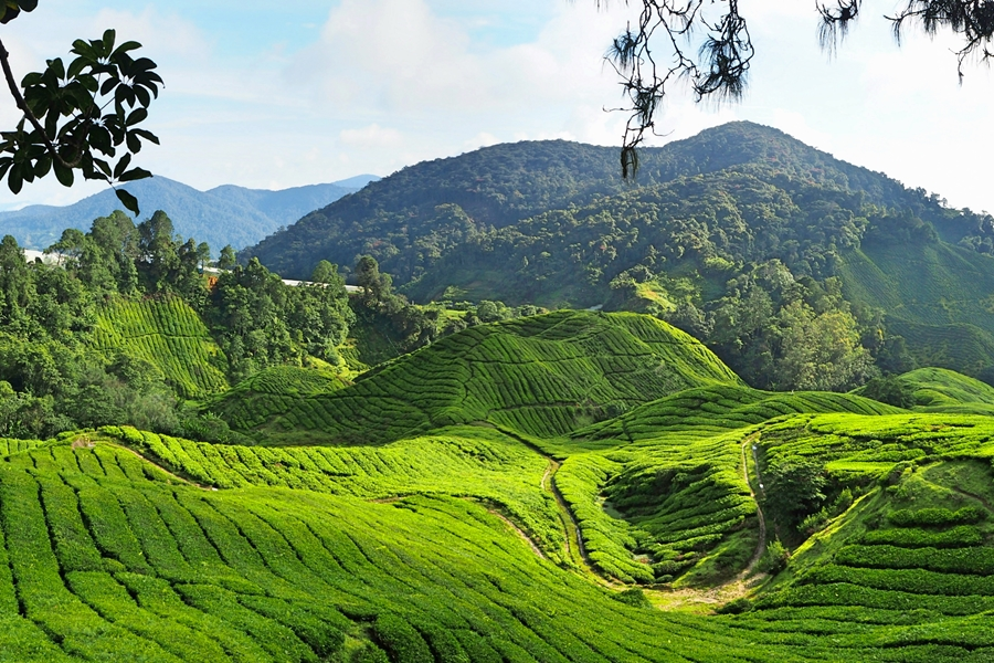 Maleisie Cameron Highlands Theeplantages panorama