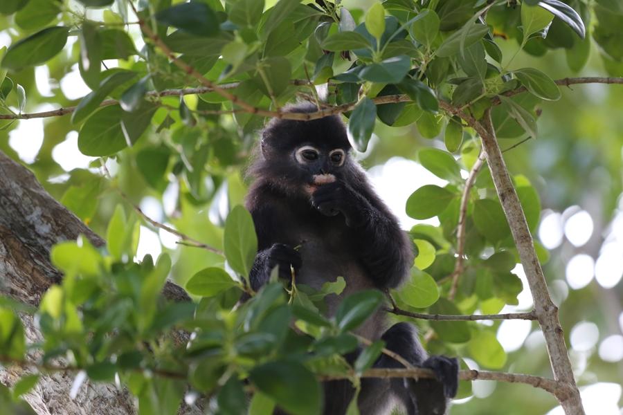 Maleisie Perhintians eilanden Dusky leaf monkey aap