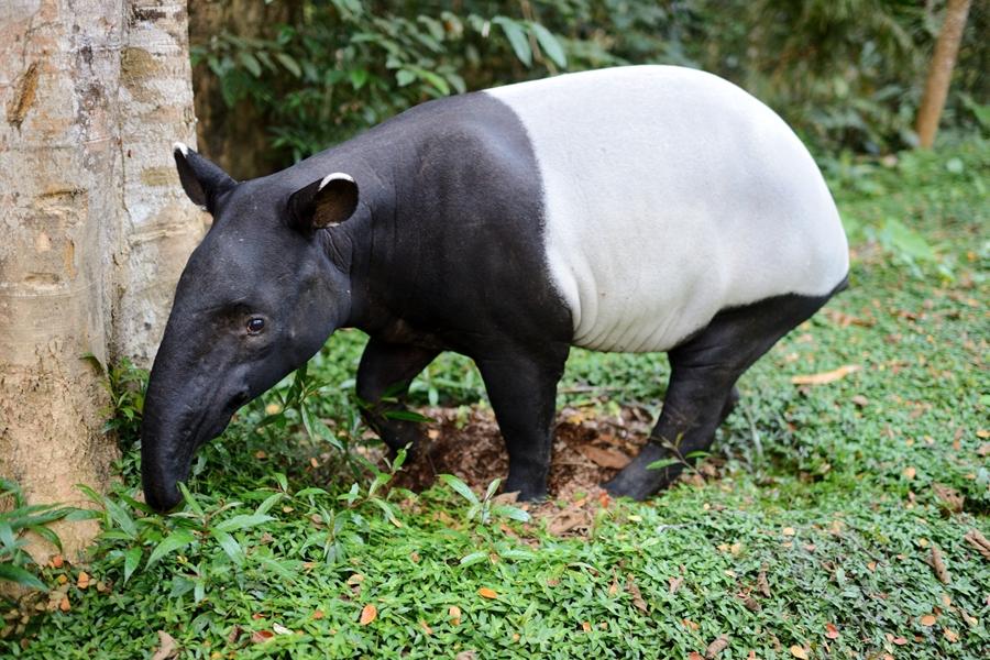 Maleisie Taman Negara Dier zwart wit