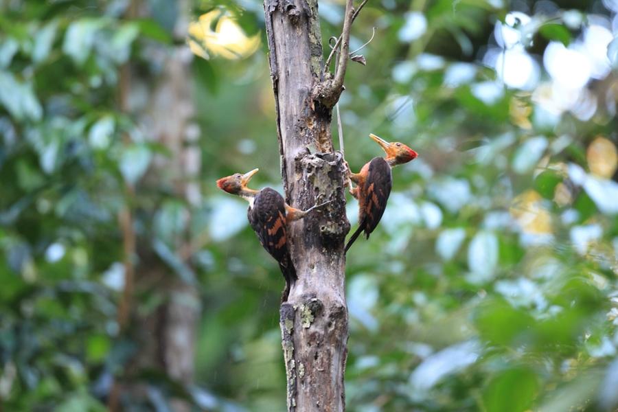 Maleisie Taman Negara Vogels
