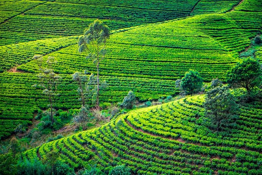 Sri Lanka Nuwara Eliya Theeplantages