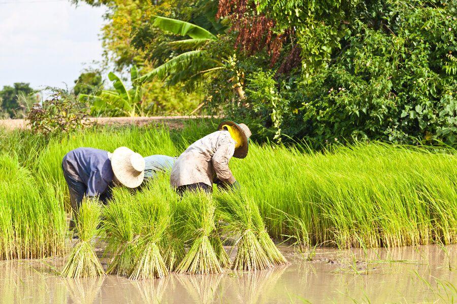 Thailand Chiang Mai fietstour rijstvelden farmers local